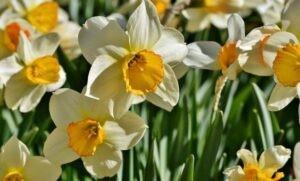 Narcisss 1